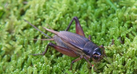 コオロギが世界を救う!?食糧危機の解決策として注目の「昆虫食」